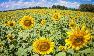 Sunflower fields in Central Thailand 03_L