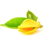 Ylang Ylang flower150x150
