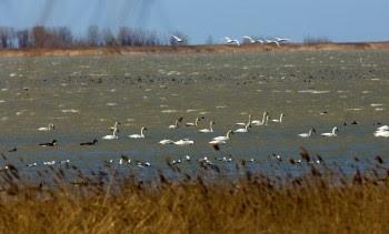 wetland swans
