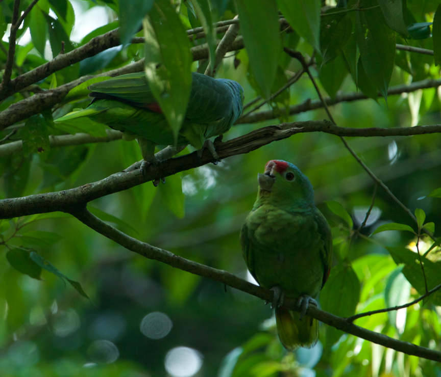 Red lored parrot with no top beak sitting in a tree with her mate
