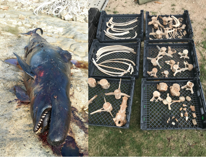 stranded false killer whale, and bones