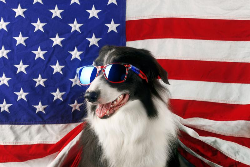 Beautiful border collie in front of a USA flag with sunglasses