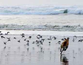 Dog Chasing Shorebirds