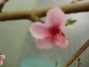 Peach flower with deeper pink staining in centre - clearly indicating pollination has taken place