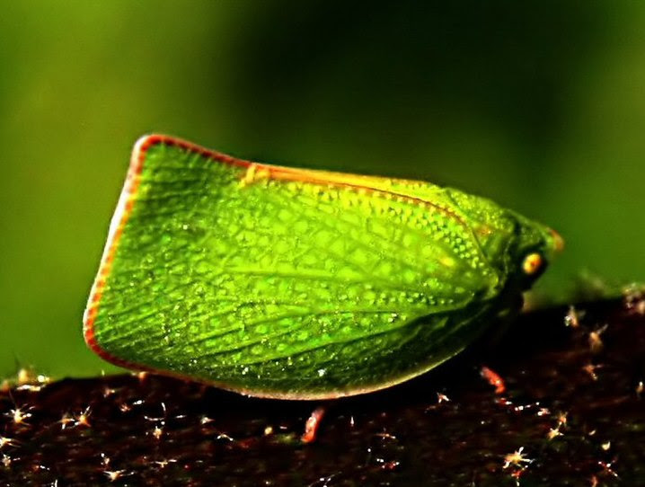 File:Mimicry of Siphanta acuta edit1.jpg