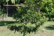 Sapodilla-tree