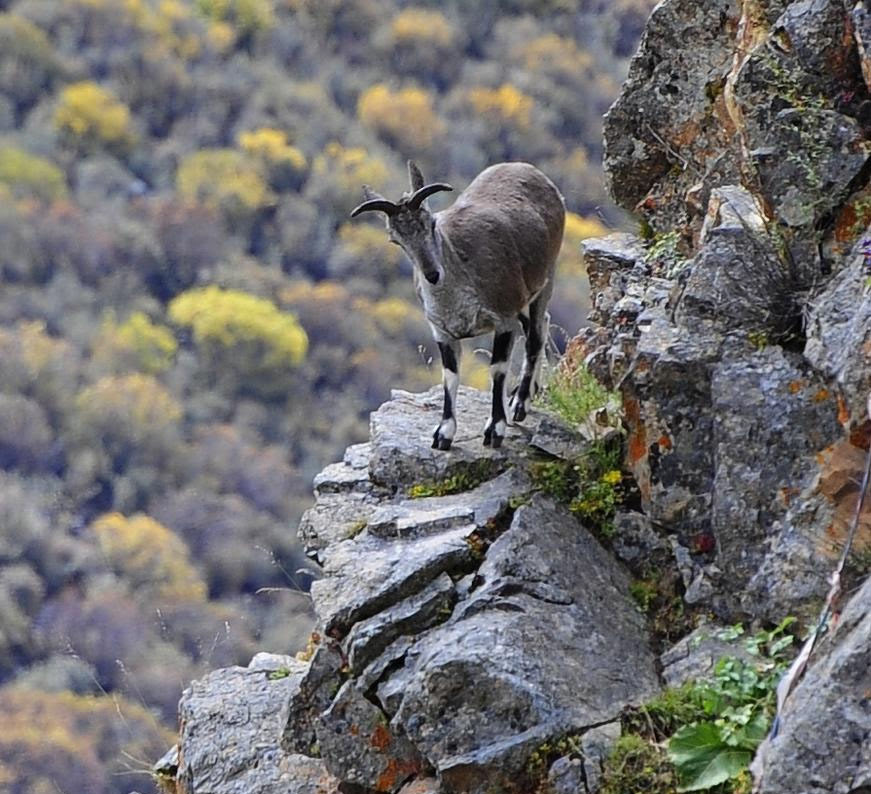 Himalayan Blue Sheep in Tibet