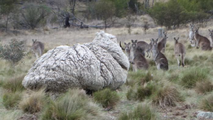 En Lozère, des patous pour protéger les moutons