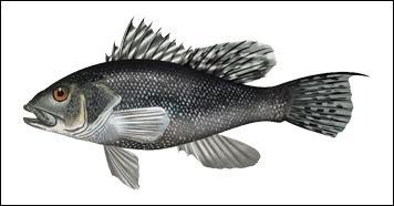 Black Sea Bass illustration