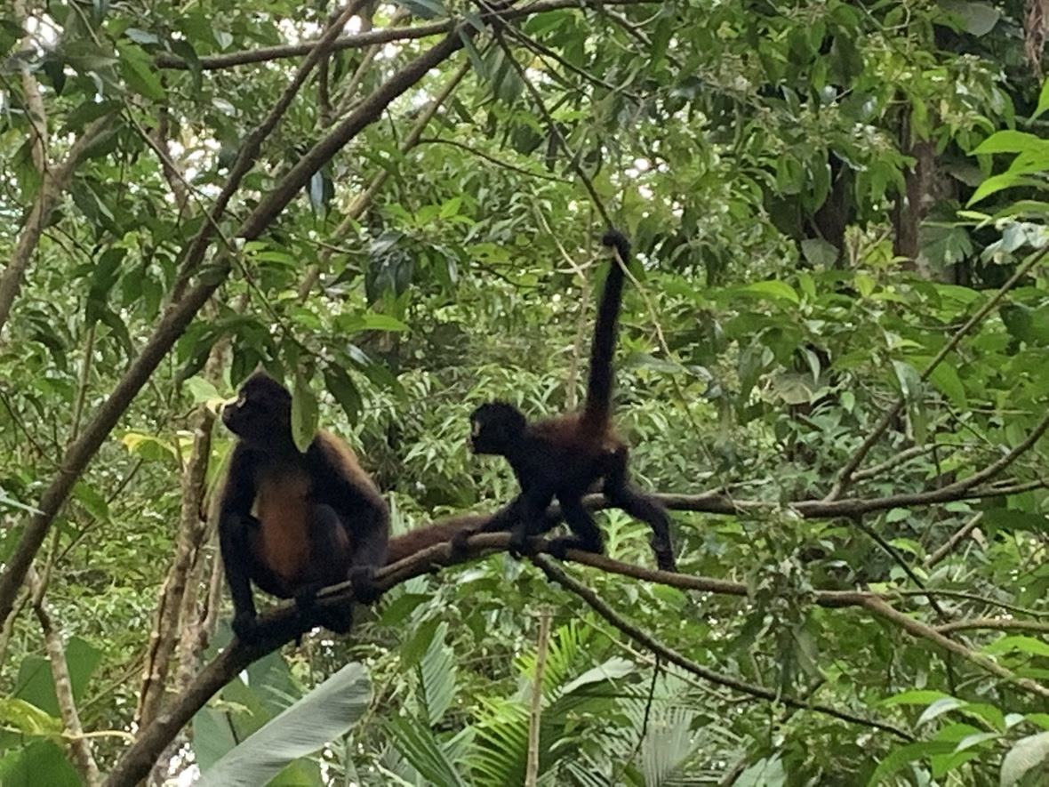 A spider monkey and her juvenile offspring sit in a tree and look up into the rainforest