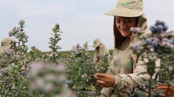 Perú ya exporta hasta 46 variedades de arándanos