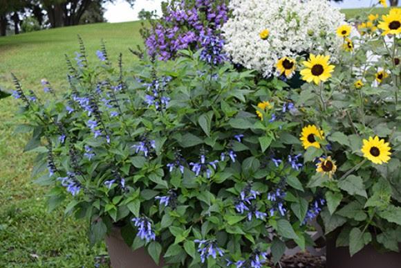 Rockin Blue Suede Shoes salvia, Suncredible sunflower