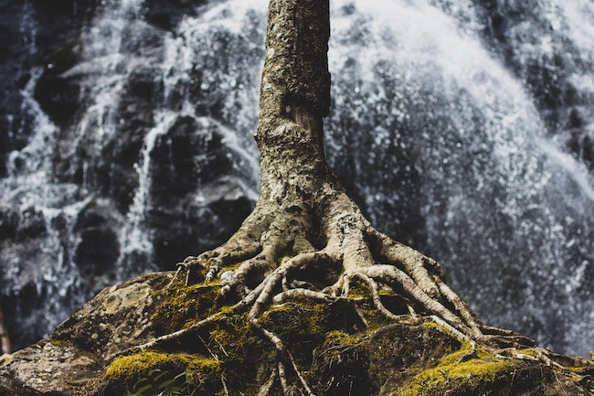 Deep, strong tree roots clinging to the edge of a cliff, waterfall in the background