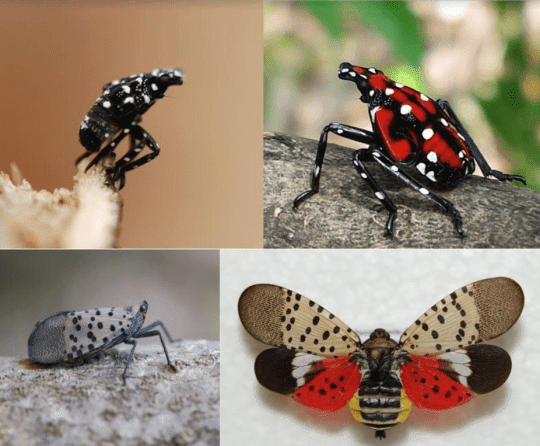 Spotted Lanternfly nymphs to adults