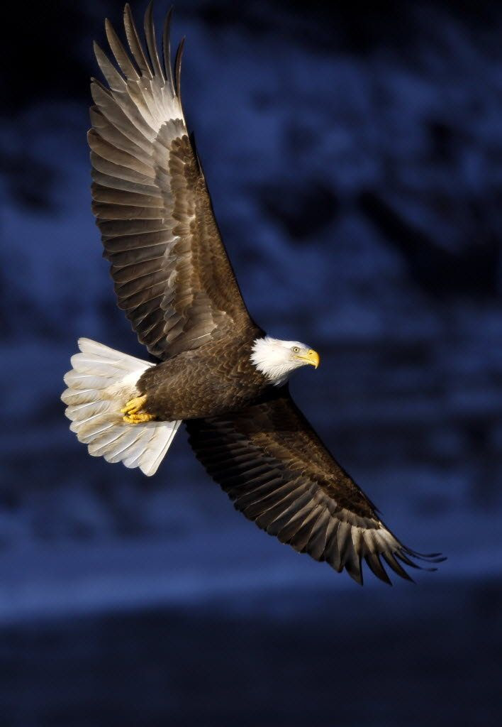 Majestic bald eagle over the Des Moines RIver in Iowa: