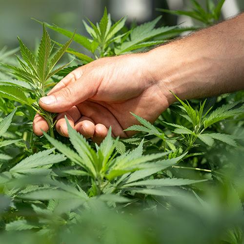 crystalweed-cannabis-F-ZXqLioXxg-unsplash.jpg