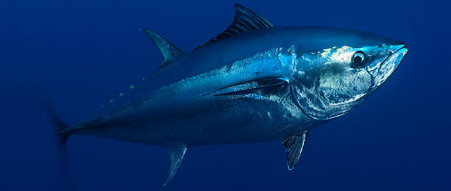 Atlantic bluefin tuna, underwater
