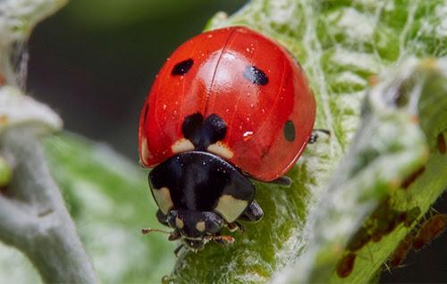 A seven-spot ladybird