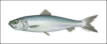 Atlantic herring illustration