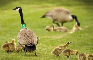 Canada geese (with goslings) banded for identification