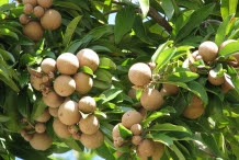 Sapodilla-fruit