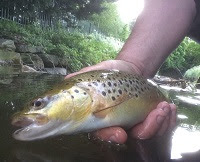 wild brown trout released into River Inler