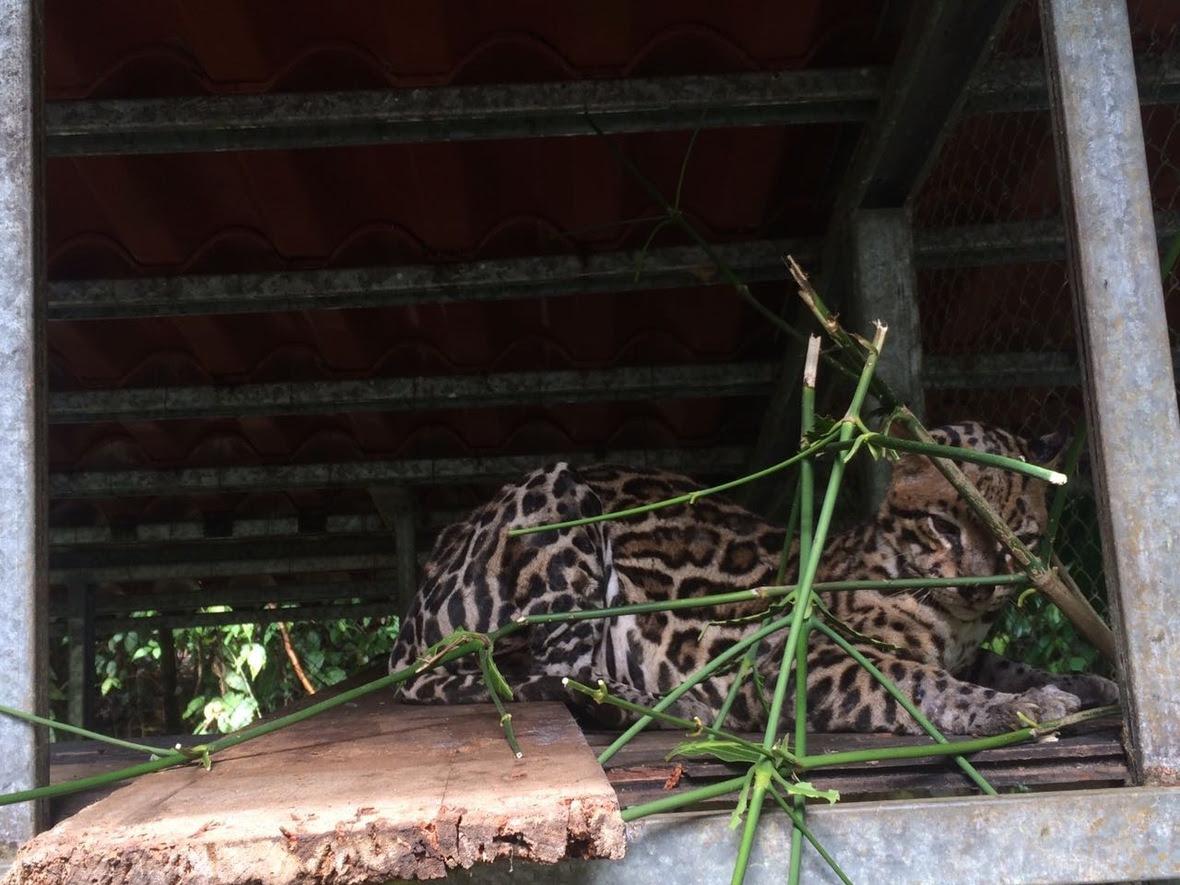 """Margay (Leopardus wiedii)—often referred to as the """"tree ocelot""""."""