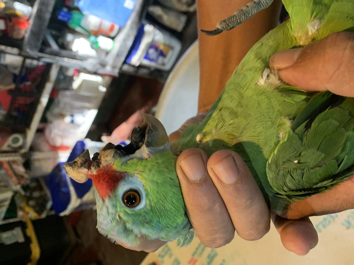 The missing top beak of a red lored parrot