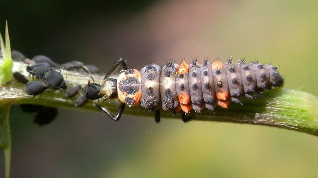 Seven spot Lady bird, Cocincella septapunctata, larva feeding on aphids.