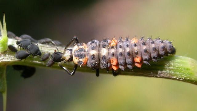 Seven spot Lady bird,Cocincella septapunctata,larva feeding on aphids.