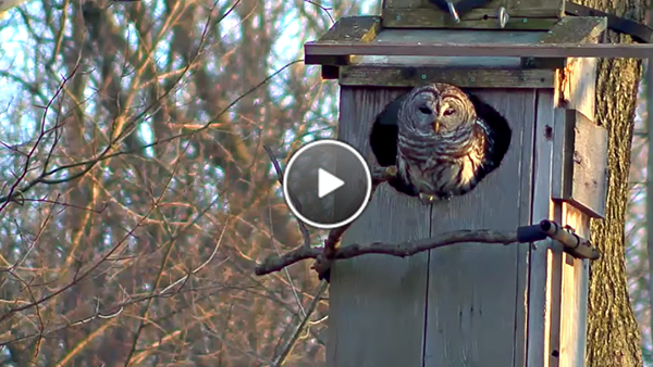 Watch The Female Barred Owl Poke Out Of The Nest Box
