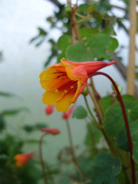 Tropaeolum tuberosum aka Anu or Mashua in flower