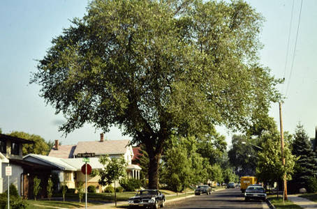 elm tree in neighborhood