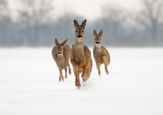 Three roe does running in snow towards camera