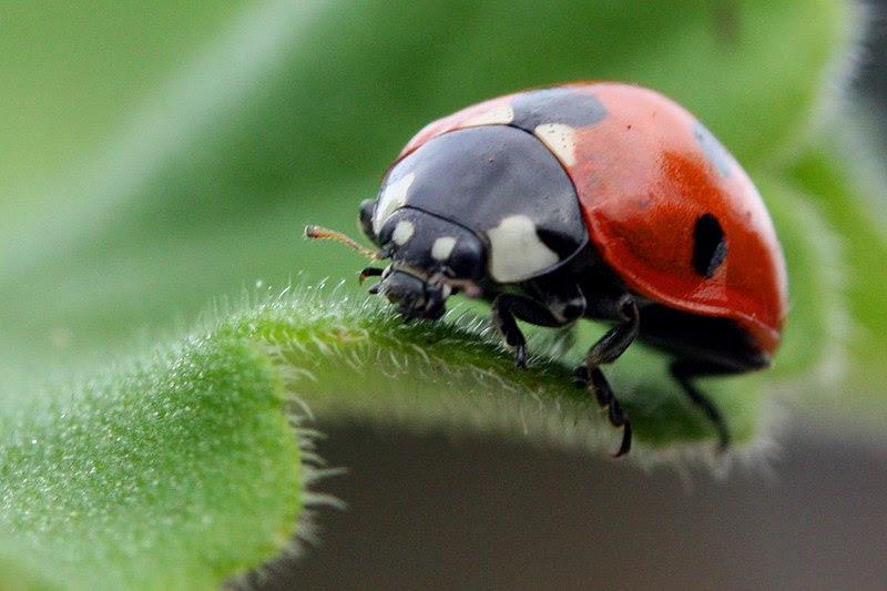 File:Ladybird coccinella septempunctata.jpg