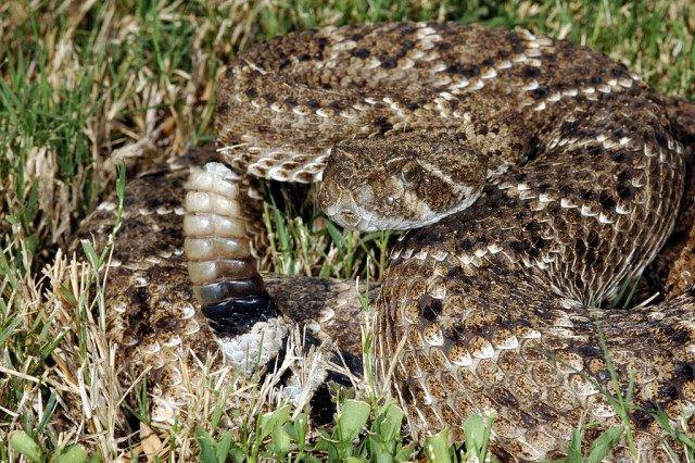 """Crotalus atrox, una de las serpientes que llaman """"de cascabel"""". Fotografía de Clinton & Charles Robertson from Del Rio, Texas & San Marcos, TX, USA – Western Diamondback Rattlesnake (Cortalus atrox), CC BY 2.0,"""