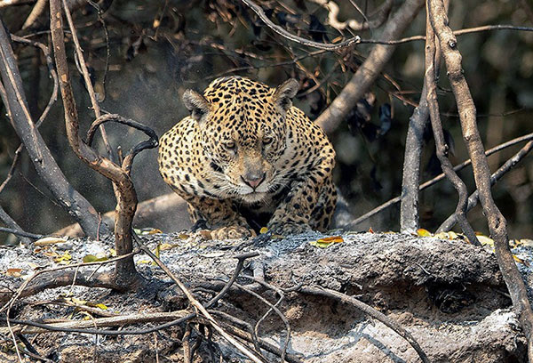 A jaguar crouches in an area recently scorched by wildfires.