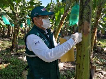Senasa ya cuenta con S/ 5.144.860 para la atención de la emergencia sanitaria ante presencia de Fusarium Raza 4 Tropical