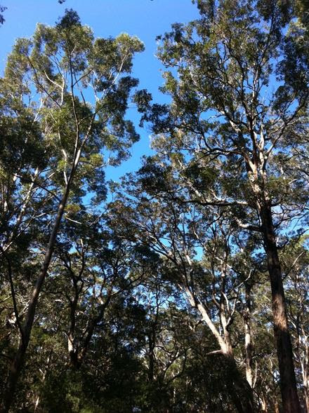 Gum Tree Forest