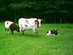vacas eco 412_79224_4773283_281643