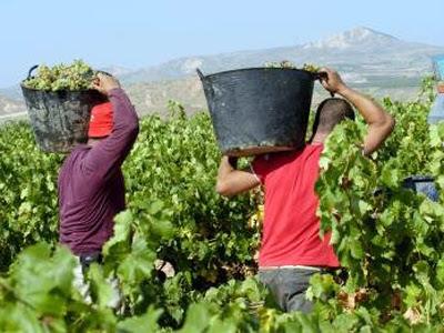 Agricultores en labores de vendimia en la bodega cooperativa de Aldeanueva de Ebro.