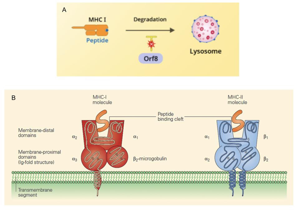 (A) SARS-CoV-2 Orf8 interference (B) MHC-I and MHC-II molecules