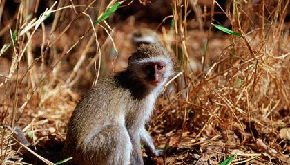 Monkeys' Attraction to Burned Grasslands May Offer Clues to Human Ancestors' Mastery of Fire