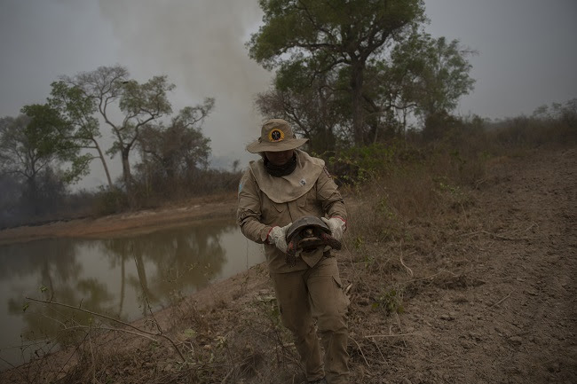 Mato Grosso State firefighter removes a turtle from a fire area in the wetlands of the Pantanal