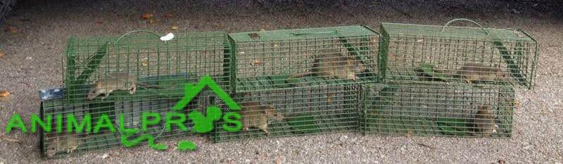 rat-traps