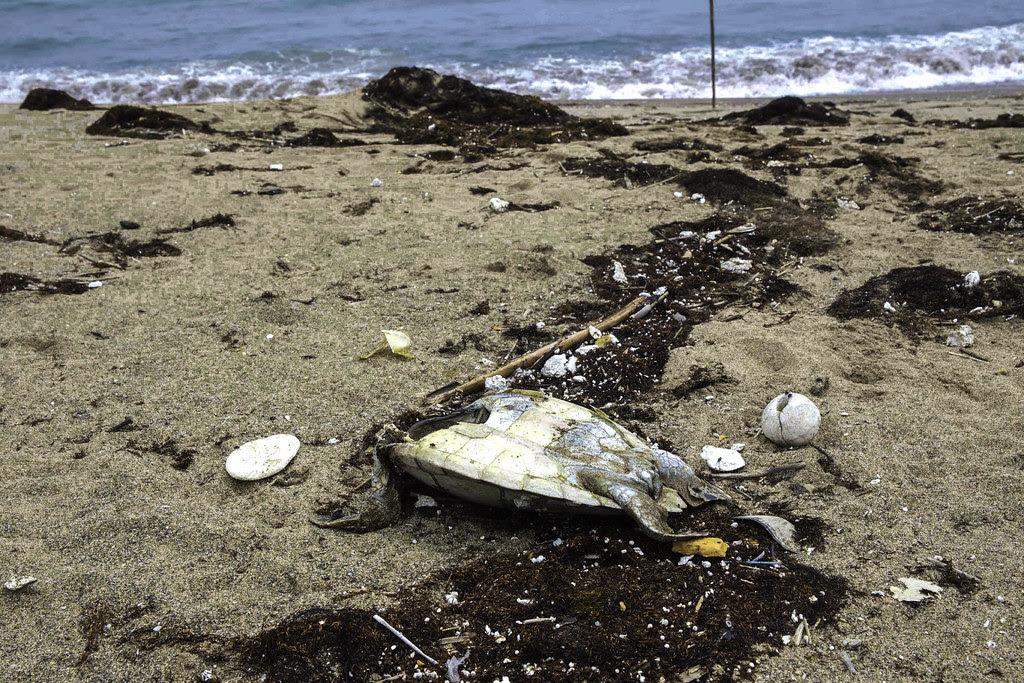 海龜屍體靜靜躺在國聖埔海灘上,周圍佈滿的是一粒粒保麗龍球