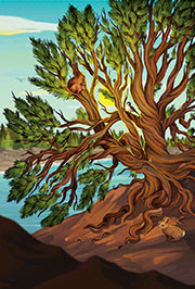 Illustration of a limber pine by Megan Wiebe.
