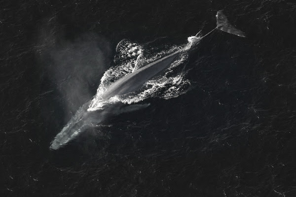 surfaced_whale