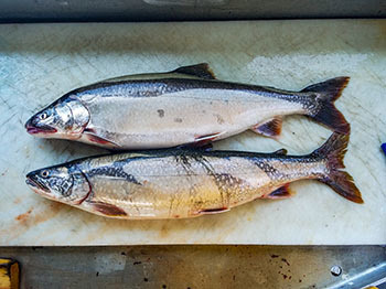 A photo shows two lake trout, one that has its adipose fin clipped and the other that does not. Clipped fish are hatchery raised.