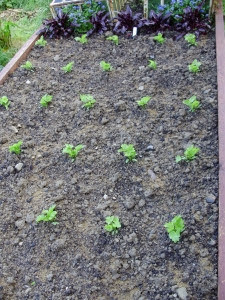 Parsnips multi-sown 3-4 seeds per module of peat-free compost.